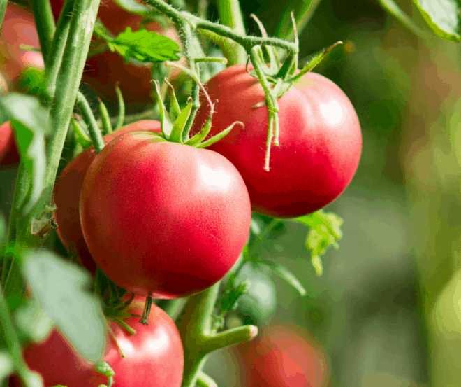 Green tomato plant with ripened red tomatoes