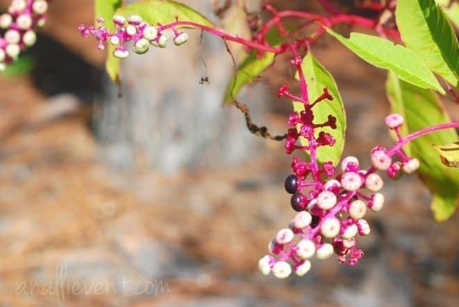 berries1