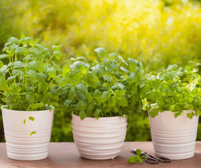Growing Favorite Herbs in White Pots on Porch Ledge