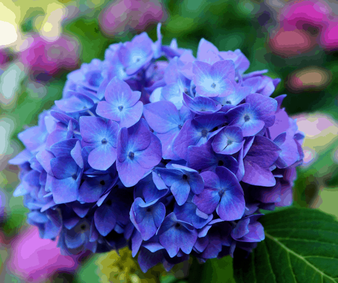 hydrangeas - perfect centerpiece for outdoor dining ideas