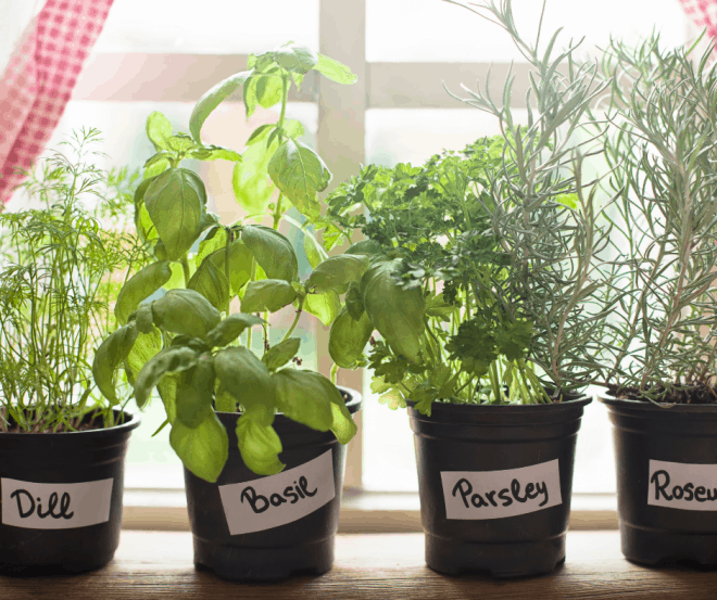 Fresh herbs growing in pots on a windowsill - eating healthy on a budget