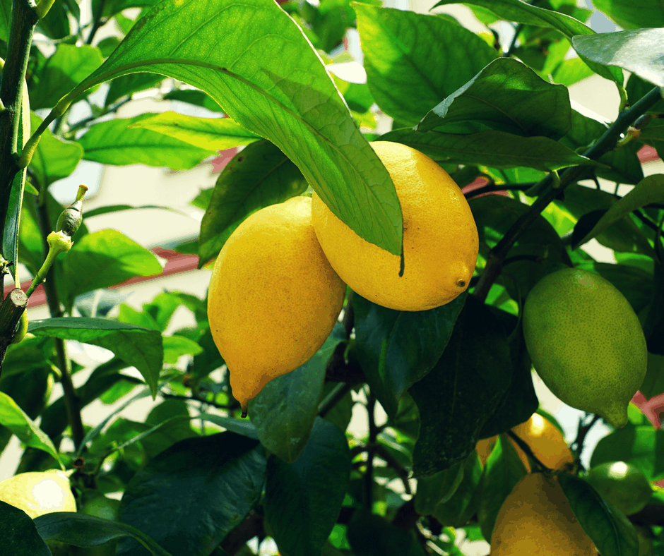 5 easy tips for growing lemon trees an alli event