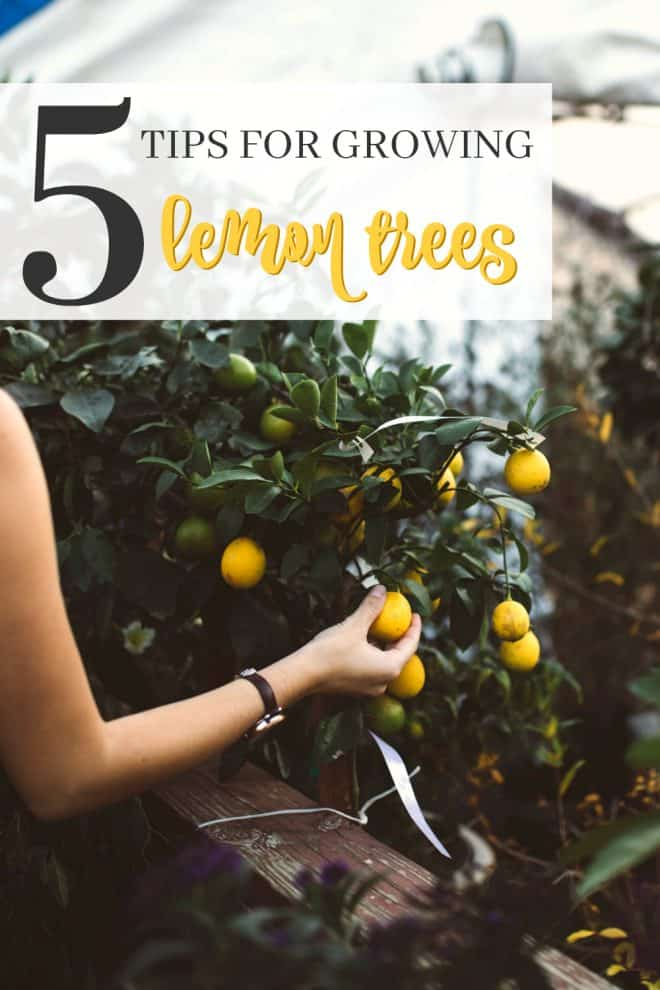 5 Tips to Growing Lemon Trees