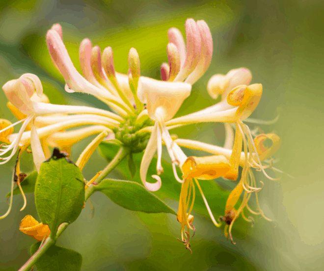 Honeysuckle Bloom