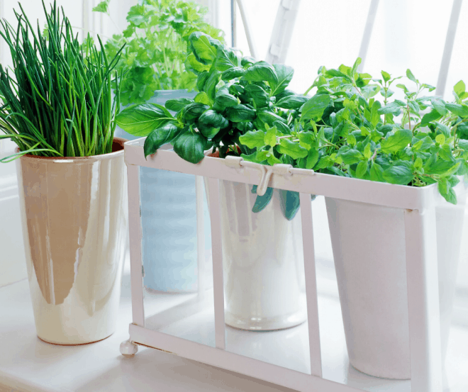 Herb Garden in bright window - Growing vegetables inside