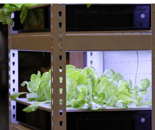 Growing Vegetables Inside - Greens Growing Under Grow Lights