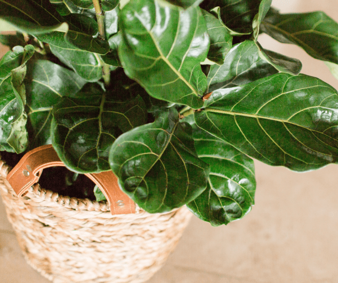 faux fiddle leaf fig tree in brown rattan basket with handles